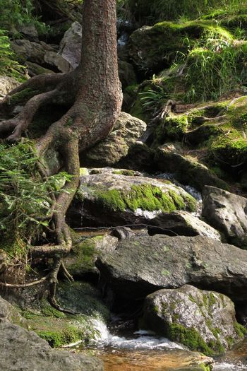 Czech Republic Day Flowing Flowing Water Forest Growth Moss Nature No People Outdoors Plant Rock Rock - Object Scenics - Nature Solid Tranquility Tree Tree Trunk Trunk Water Šumava