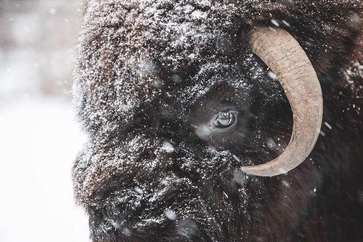 Calgary Bison Close-up Nature Headshot First Eyeem Photo