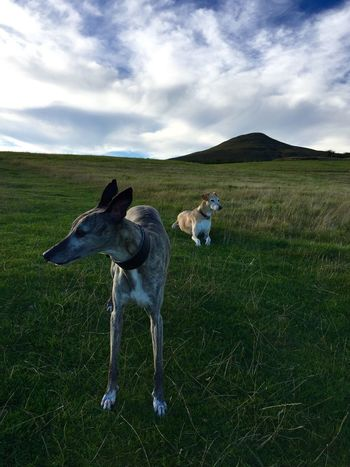 My beautiful rescue boys. You would never believe how much I love my boys! Walking the dogs. Sugar Loaf Mountain in Abergavenny in the background WWalking The DogsmMountains And SkymMountainslLurcherwWhippetSSugar LoafSSugar Loaf MountainaAbergavennyTTwo Is Better Than One