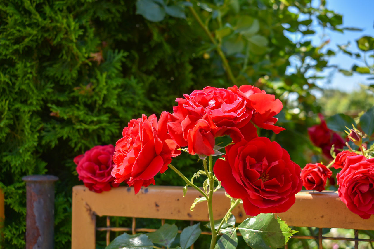 CLOSE-UP OF RED ROSE AGAINST PLANTS