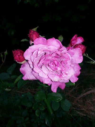 Morning rain pink rose