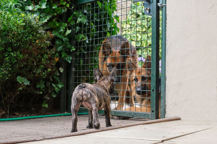 Little french bulldog challenges two german shepherds behind the fence. selective focus.