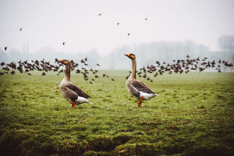 Birds of a feather The Great Outdoors - 2018 EyeEm Awards The Traveler - 2018 EyeEm Awards Bird Animal Themes Animal Animals In The Wild Field Goose Flock Of Birds Beauty In Nature Outdoors Nature Animal Wildlife No People Group Of Animals