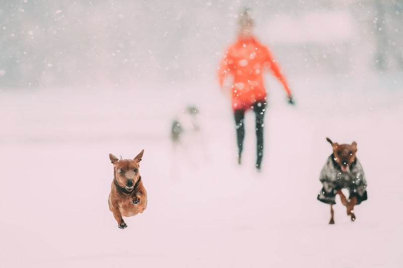 Red Brown Miniature Pinscher Pinchers Min Pin Playing And Running Together Outdoor In Snow, Winter Season. Playful Pets Outdoors. Snow Pets Winter Cold Temperature Red White Dog Field Snowing Brown Miniature Pinscher Pinchers Min Pin Playing Running Together Playful