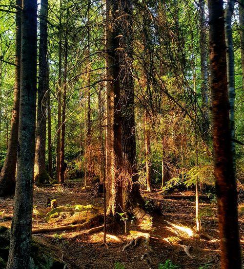 Sun Harmony With Nature Nature Photography Högakusten Swedish Nature Tree Forest Tree Trunk Sky Pine Woodland Pine Tree Pine Cone WoodLand Woods