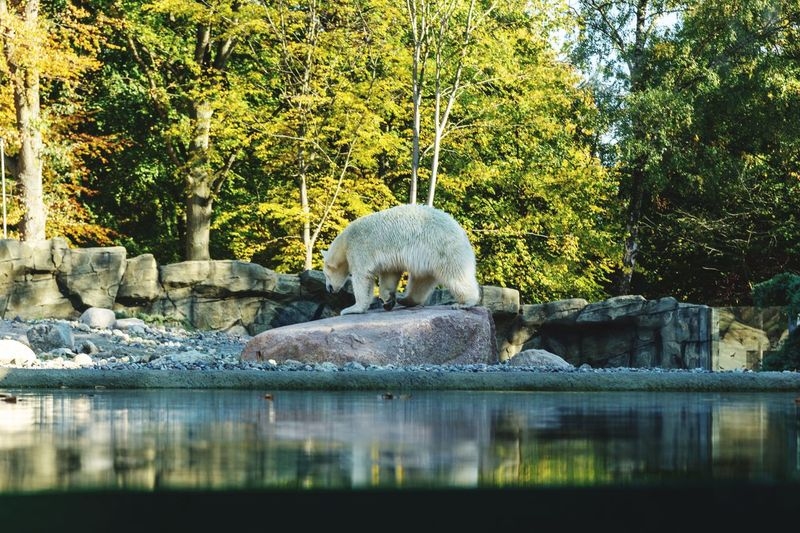 View of an animal on rock against lake at zoo