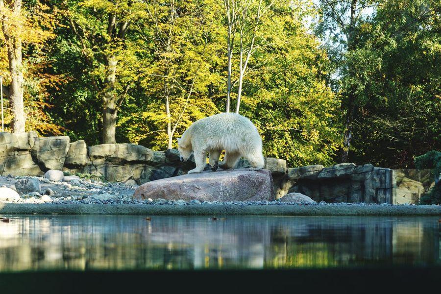 Polar bear in the zoo of rostock Autumn Lake River Autumn colors Zoo Rostock Zoo Rostock EyeEn Nature Lover EyeEm Best Shots Water Statue Sculpture Reflection Polar Bear Arctic Bear Alaska - Us State