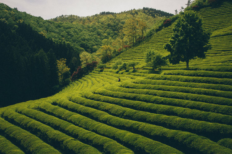 Terrace Field - F : Jens Kv Photography W : Busan,Korea Green Color Green Tea Landscape Mountain Mountain Range Mountainscape One Person Terrace Field