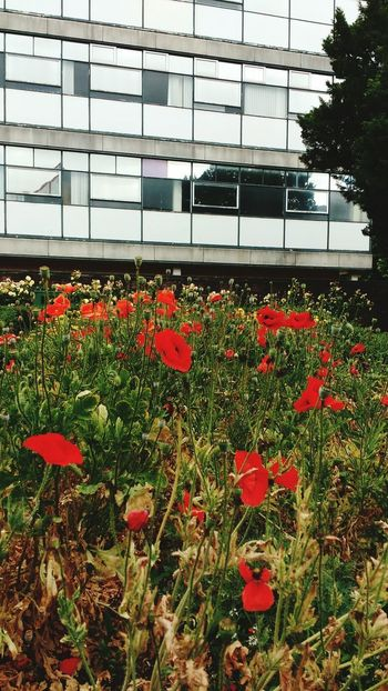 St Albans Poppies In Bloom Postcode Postcards