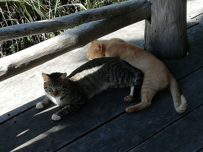 Pets Feline Domestic Cat Sitting Animal Themes