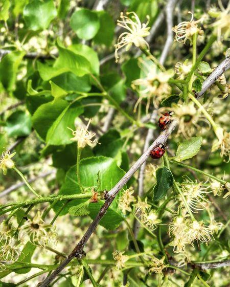 Europe Ladybug