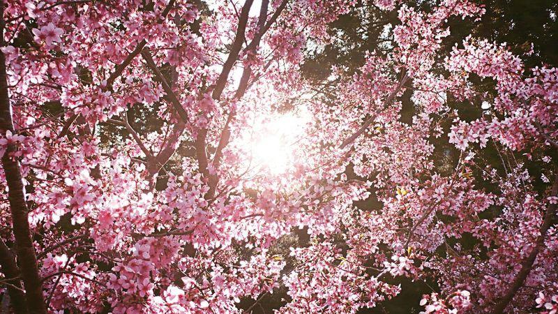 Sakura Sakuraflowers сакура