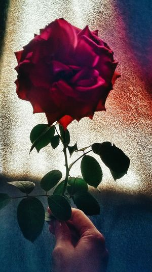 Flower Petal Red Indoors  Close-up Nature Fragility Human Body Part Day Flower Head One Person Beauty In Nature People Women Beauty Plant Plants Roses Light