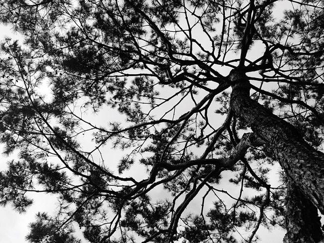 The roof of pine tree Korea Iphone5s IPhoneography Snapshot IPhone B&w Ilsan  Black & White Pine Tree