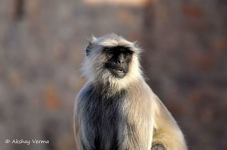 The Gray Indian Langur Ranthambore Rajasthan India Incredibleindia Travel Travelgram VSCO Vscoindia Nikon D5000 Tamron Tamronlens