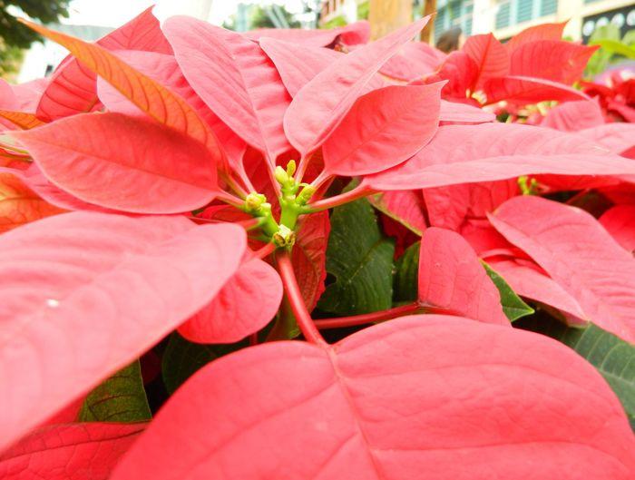'Tis the season! Christmas Decoration Christmastime Poinsettia Dlitez Leaf Plant Pink Color Outdoors No People