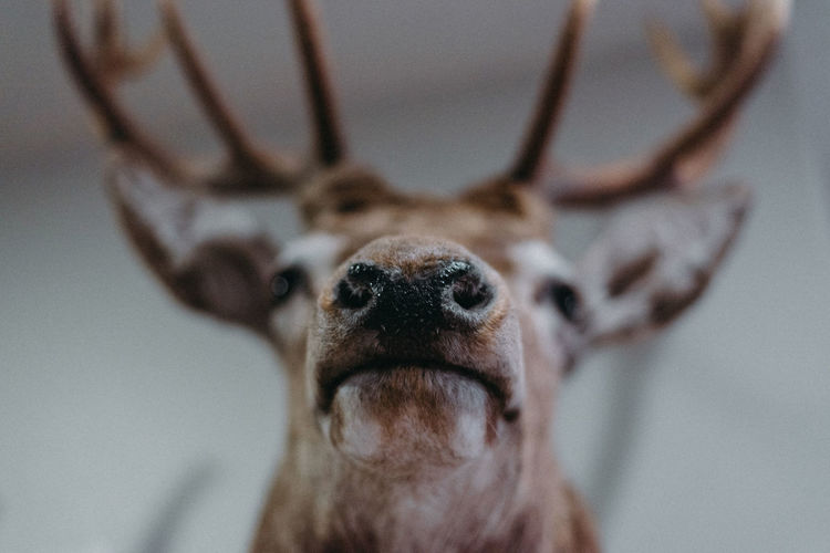 Animal Head  Animal Themes Animal Wildlife Animals In The Wild Close-up Day Focus On Foreground Indoors  Looking At Camera Mammal No People One Animal Portrait Taxidermy Fresh On Market 2017