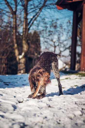 Young bohemian wire-haired dog named pointing griffon plays with wood