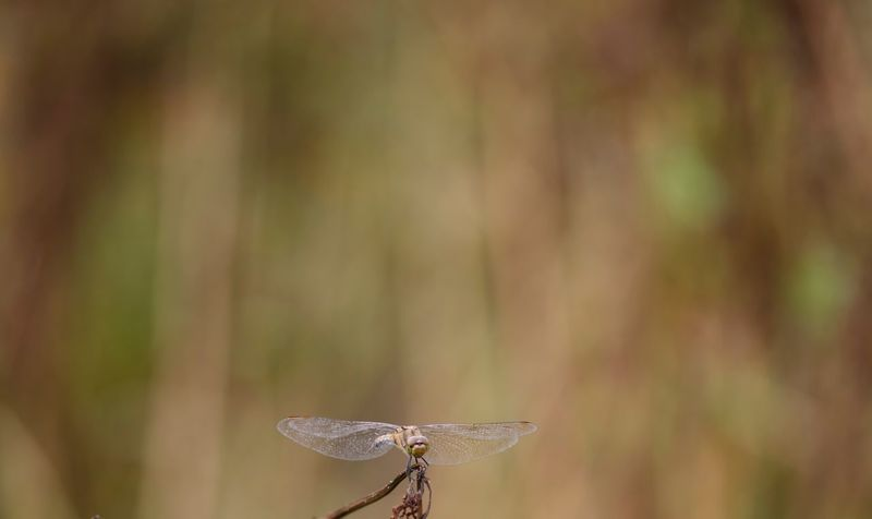 Close-up Focus On Foreground Animal Wildlife Animals In The Wild Animal Themes Animal One Animal No People Invertebrate Day Plant Nature Insect Animal Wing Outdoors Dragonfly Beauty In Nature Leaf Tree Plant Part