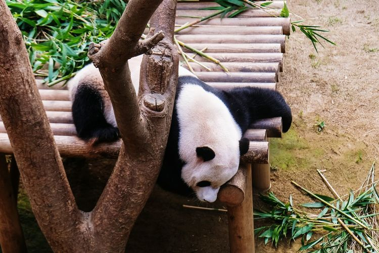 mondays be like Panda LazyMonday Sleeping Zoo Close-up Animals In Captivity Napping Cage