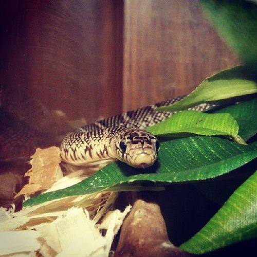 Osiris Reverseabbarentkingsnake Kingsnake Reptilesofinstagram snakesofinstagram