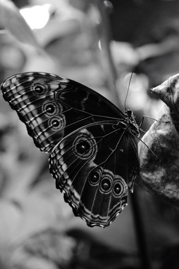 Focus On Foreground Close-up Butterfly - Insect Outdoors Day No People Animal Themes Fragility Blackandwhite