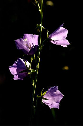 Close-up of purple iris flower against black background