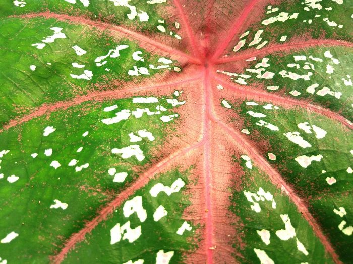 Caladium Leaf Pattern Day No People Full Frame Close-up Leaf Outdoors Backgrounds Tree INDONESIA Asian  Garden Plant Red Caladium Caladiums Caladium Leaf Caladium Nature Pattern Texture Elephant Ear Plant Leaf Green Color High Angle View Asian