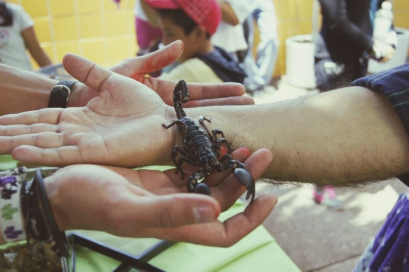 Cropped Image Of Hands Holding Scorpion
