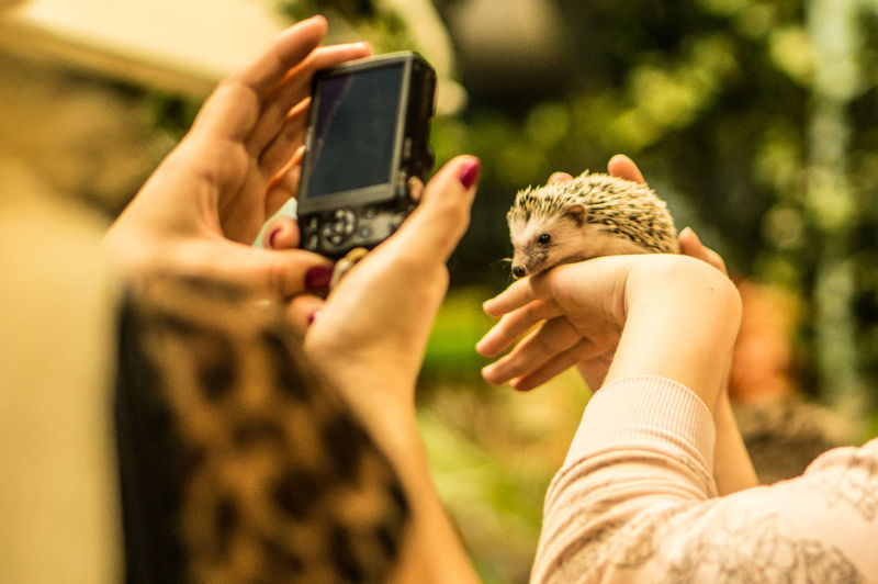 Cropped Image Of Owners Photographing Hedgehog