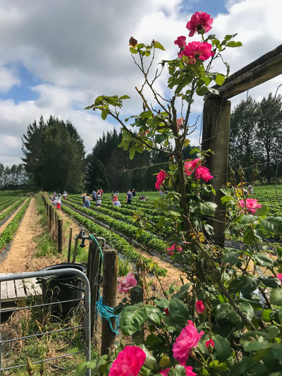 Beauty In Nature Blooming Cloud - Sky Day Farm Gate Flower Flower Head Fragility Freshness Growth Nature Outdoors Picking Strawberies  Pink Color Plant Roses Sky Strawberry Fields Tree