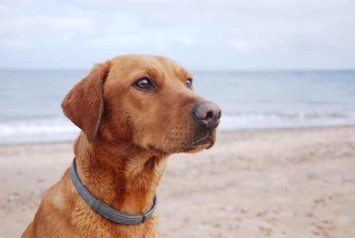 One Animal Sea Animal Themes Beach Dog Domestic Animals Pets Mammal Red Lab Labrador Retriever Labrador Retriever Lab Horizon Over Water Water Focus On Foreground Shore Sky Sand Nature Close-up No People Outdoors Day