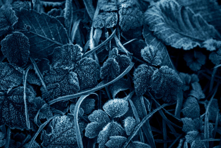 """Winters Frosty Leaves. A chilly winter morning leaves a little bit of """"Jack Frost"""". Cyanotype Frost Ice Lummi Island Pacific Northwest  Washington Washington State Winter Wintery Abstract Chilly Close-up Closeup Cold Frosty Frosty Mornings Icy Leaf Leaves Monochrome Nature No People Outdoor Photography Outdoors Winter"""