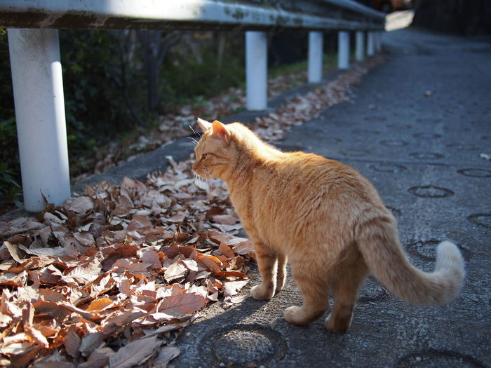 Feeling Autumn Animal Themes Animals In The Wild Autumn Autumn Colors Autumn Leaves Autumn🍁🍁🍁 Bokeh Cat Cat♡ Day Domestic Animals Domestic Cat Feline Light And Shadow Mammal No People One Animal Outdoors Pets