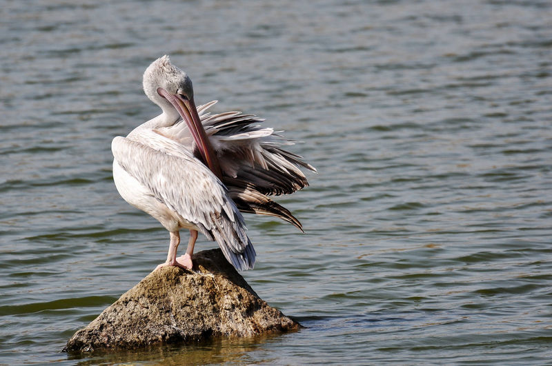 Close-up of pelican perching on rock