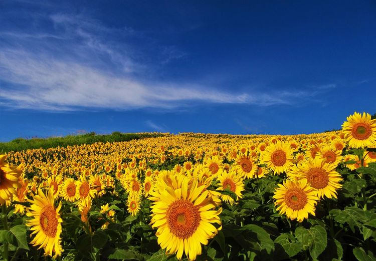 No People Outdoors Nature Flowering Plant Plant Flower Growth Sunflower Sky Yellow Land Cloud - Sky Landscape