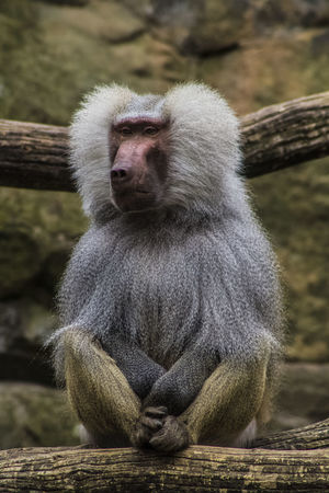 One Animal Animal Themes Animals In The Wild Baboon Baboon Portrait Waiting Sadness Freedoom  Welcome To Black