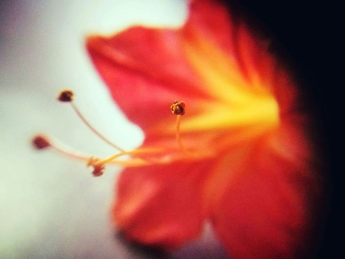 Mobilephotography Newbie ✌ Blossom, Macro Red Color Check This Out Taking Photos Flower Photography New Try 43 Golden Moments Trying Macro Pollen Macro Smartphone Photography Flower Collection Natural Light Portrait June Showcase Showcase June