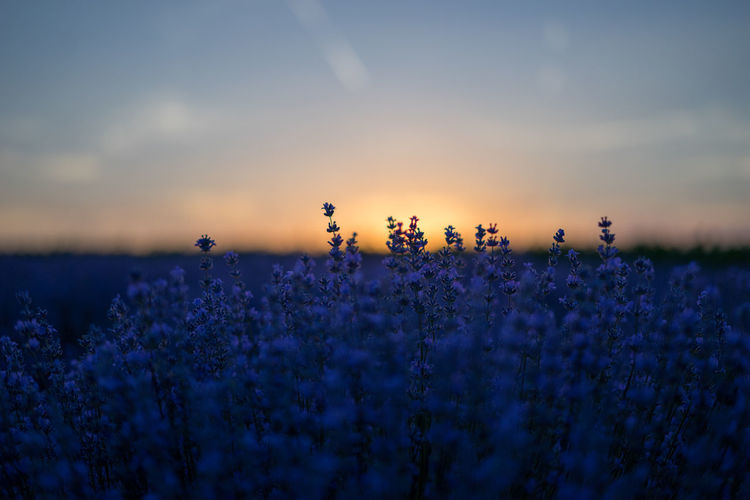 Close-up of lavender field against sky during sunset