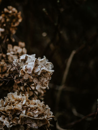 Macro photo of decaying hydrangea Plant Close-up Growth No People Beauty In Nature Selective Focus Fragility Vulnerability  Nature Focus On Foreground Flower Freshness Flowering Plant Fungus Mushroom Food Day Dry Land Leaf Flower Head Wilted Plant Dead Plant