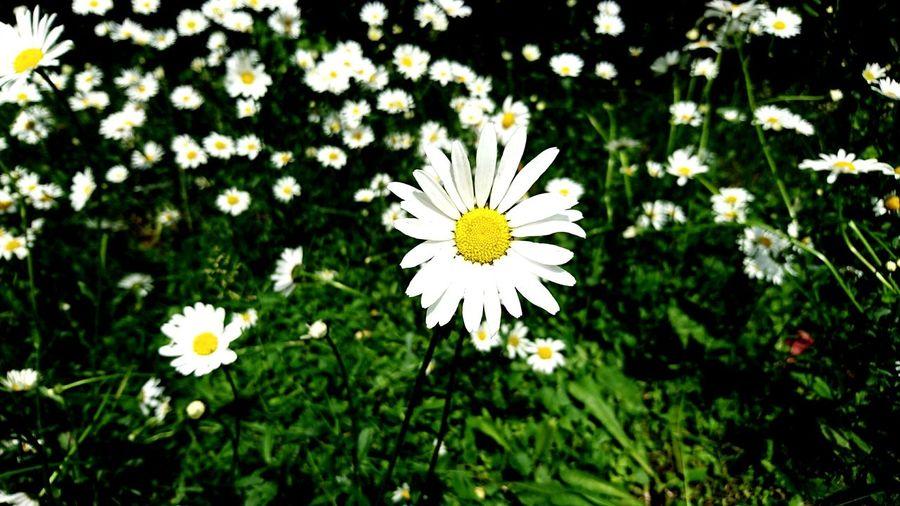 Blume Flower Daisies Nature