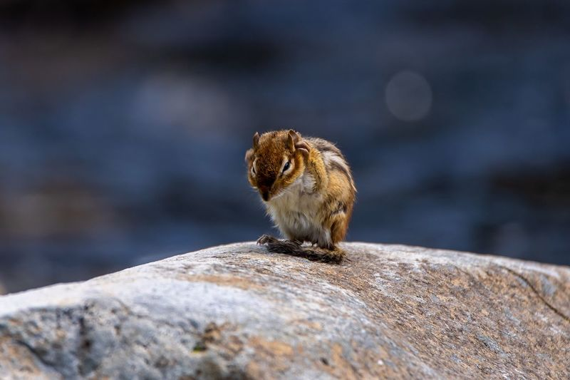 Animal Themes Animal Wildlife Animal Animals In The Wild One Animal Rodent Mammal No People Close-up Outdoors Rock Chipmunk Nature
