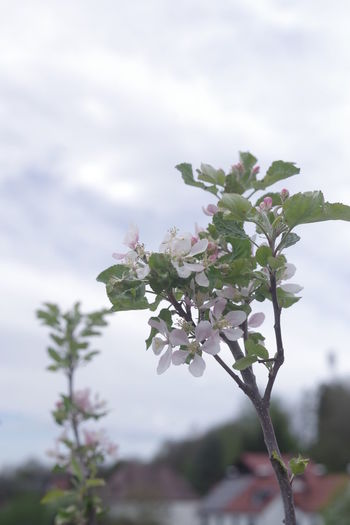 Close-up of pink flowering plant against cloudy sky