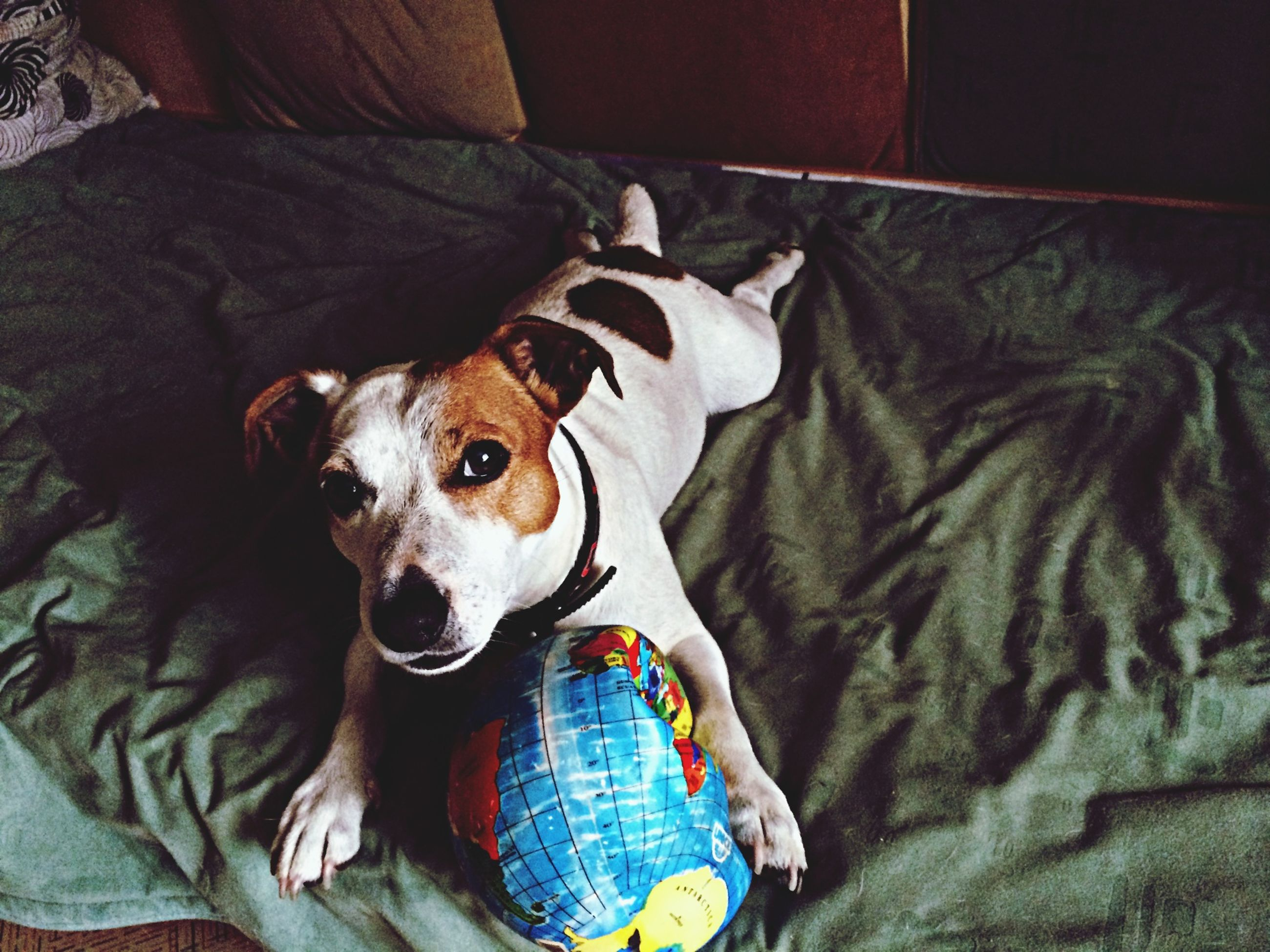 pets, domestic animals, dog, one animal, animal themes, mammal, portrait, looking at camera, relaxation, indoors, animal head, resting, sitting, sofa, lying down, bed, pet collar, high angle view, no people, front view