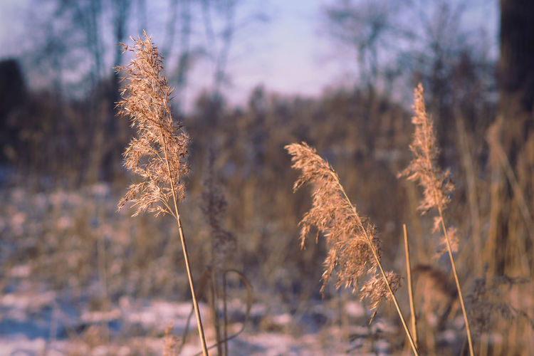 Close-up of stalks on field against sky