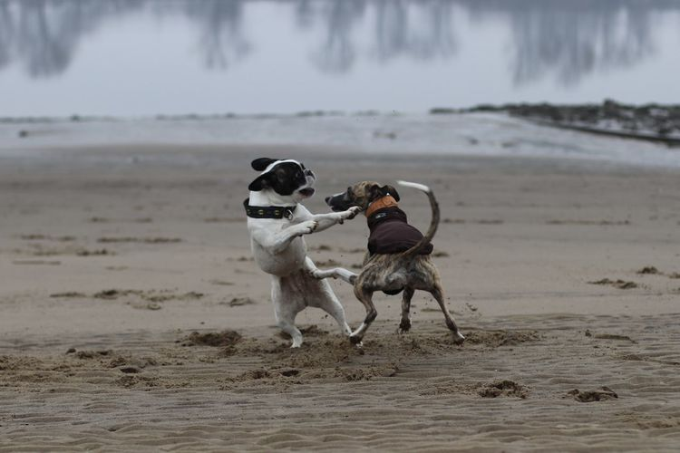 Dog fighting on sand at beach