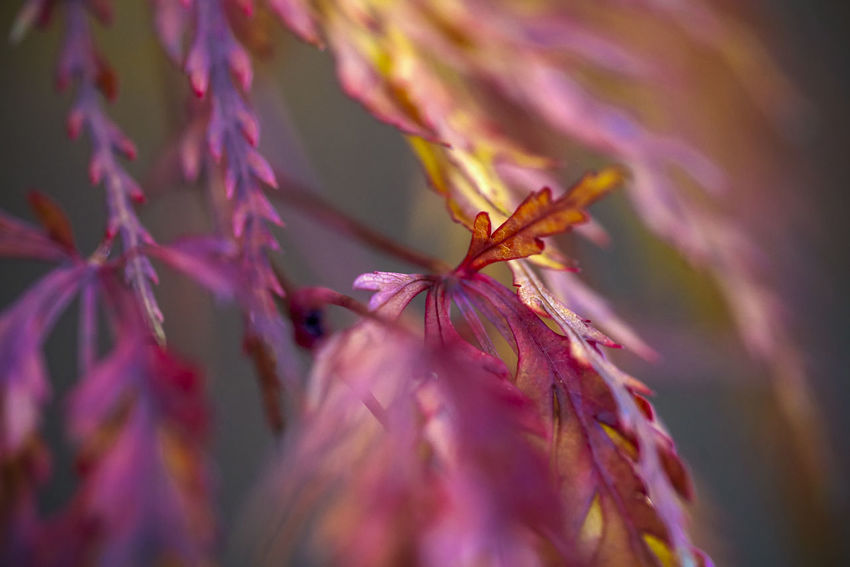 Japanese maples Animal Animal Themes Beauty In Nature Close-up Day Flower Flower Head Flowering Plant Fragility Freshness Growth Insect Invertebrate Nature No People One Animal Outdoors Petal Pink Color Plant Pollen Pollination Purple Selective Focus Vulnerability