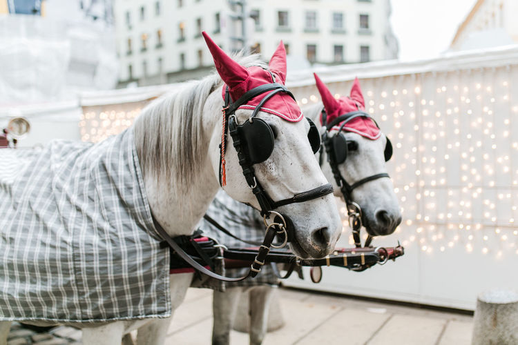 Typical horses in vienna in front of christmas lights.