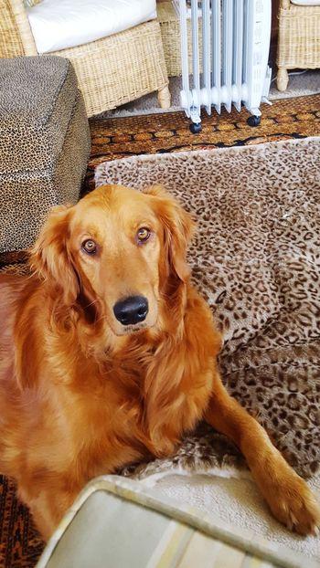 Dog Pets One Animal Domestic Animals Animal Themes Mammal No People Indoors  Day Looking At Camera Home Interior