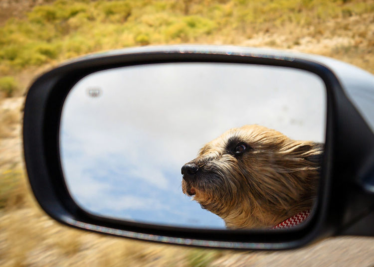 Close-Up Of Dog In Side-View Mirror